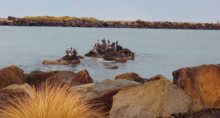 South-Jetty-pelicans013542.jpg