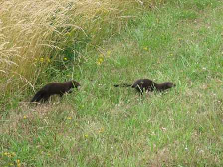 Weasels_at_the_Cape_Blanco_State_Park_2082318.jpg