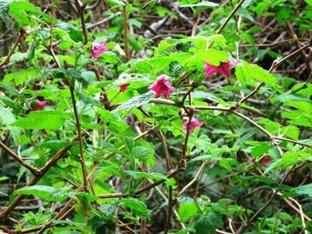 Humbug_-Fern_Trail_-Salmonberry095312.jpg