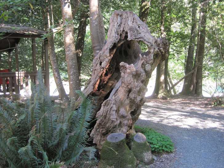 Loeb_cool_myrtlewood_stump045507.JPG