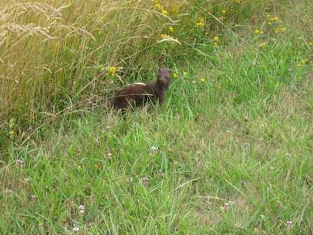Weasels_at_the_Cape_Blanco_State_Park_1082305.jpg
