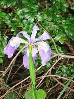 Humbug-_Fern_Trail-_Wild_Iris095323.jpg