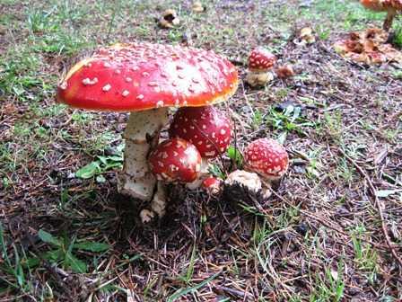 Humbug_Amanita_nonedible__but_beautiful_color_mushroom094137.jpg