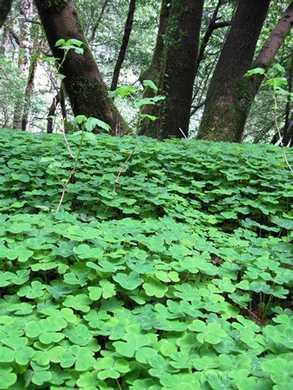 Humbug-_Fern_Trail-_Wood_Sorrel095336.jpg