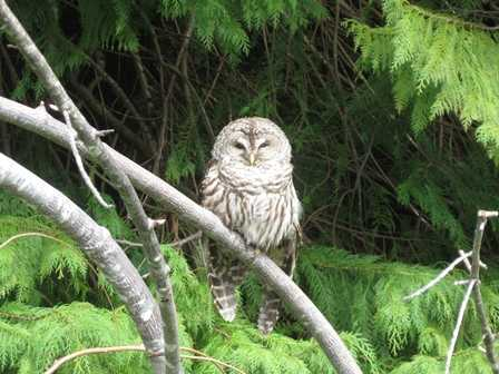 Humbug-_Barred_Owl094541.JPG
