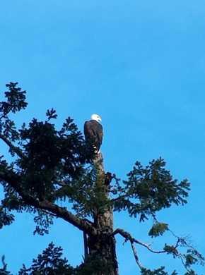 Humbug-_Bald_Eagle094154.jpg