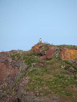 Otter_Point_-_Wild_Falcon022352.JPG