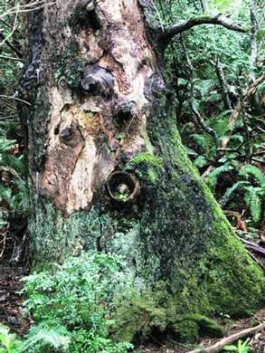 Humbug-_Fern_Trail-_Old_Growth___Ferns_(1)095204.jpg