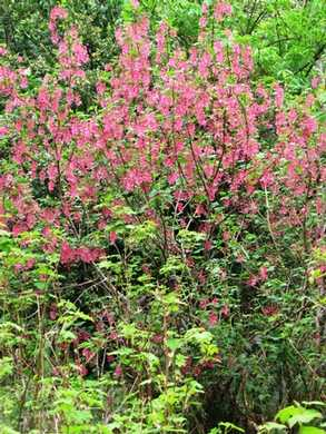 Humbug-_Fern_Trail-_Red_Flowering_Currant095230.jpg