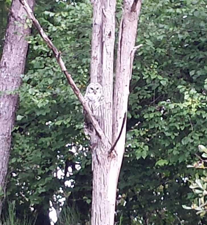 Barred_Owl011100.jpg