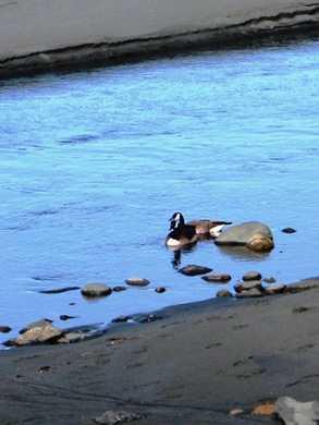 Geese_at_Arizona_Beach_SRS014432.jpg
