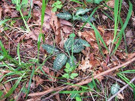 Humbug_-Fern_Trail-_Rattlesnake_Plantain095216.jpg