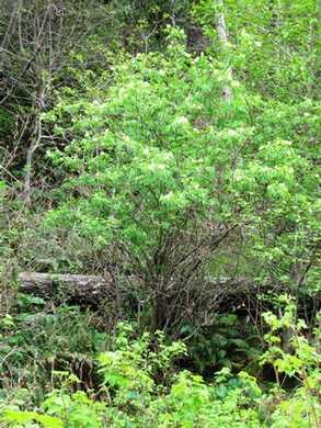 Humbug-_Fern_Trail-_Common_Elderberry094916.jpg