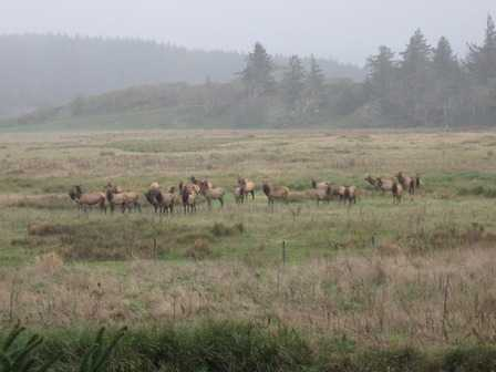 Wild_Elk_Sixes_Flats_at_Cape_Blanco_State_Park082330.jpg
