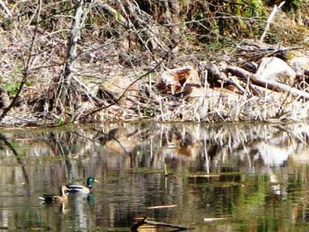 Wild_Ducks_at_Arizona_Beach_SRS014642.jpg