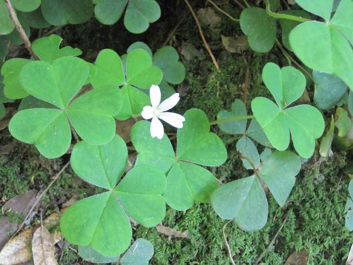 Loeb_sorrel_flower-1045312.JPG