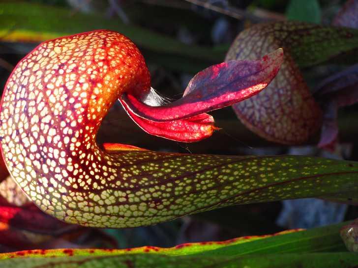 Flowering_Darlingtonia093440.jpg