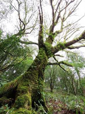 Humbug_-_Fern_covered_tree093640.JPG