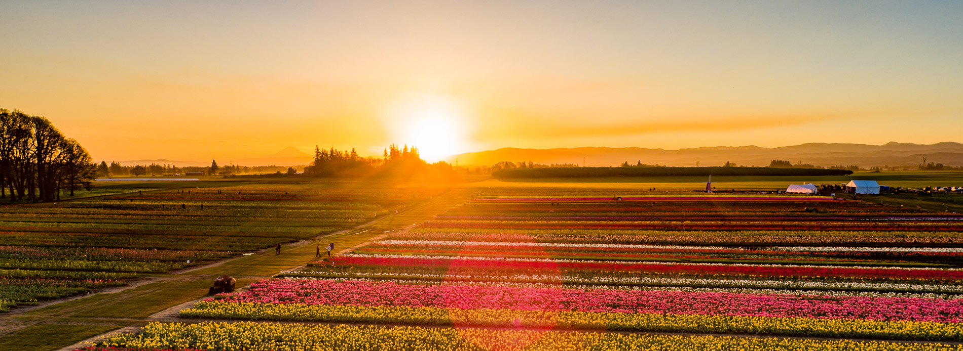 Wooden Shoe Tulip Farm at sunset