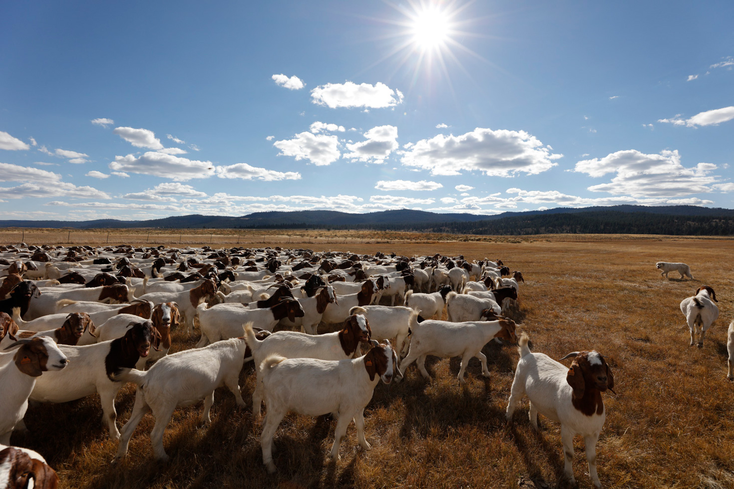 Experience authentic goat herding and cattle driving