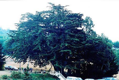 Monterey Cypress - Heritage Tree.jpg