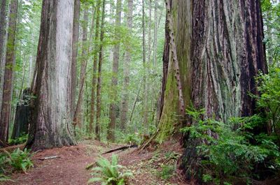 Oregon Redwoods Trail #1107.jpg
