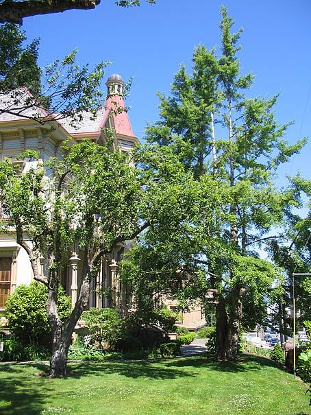Captain Flavel Trees - Heritage Tree.jpg