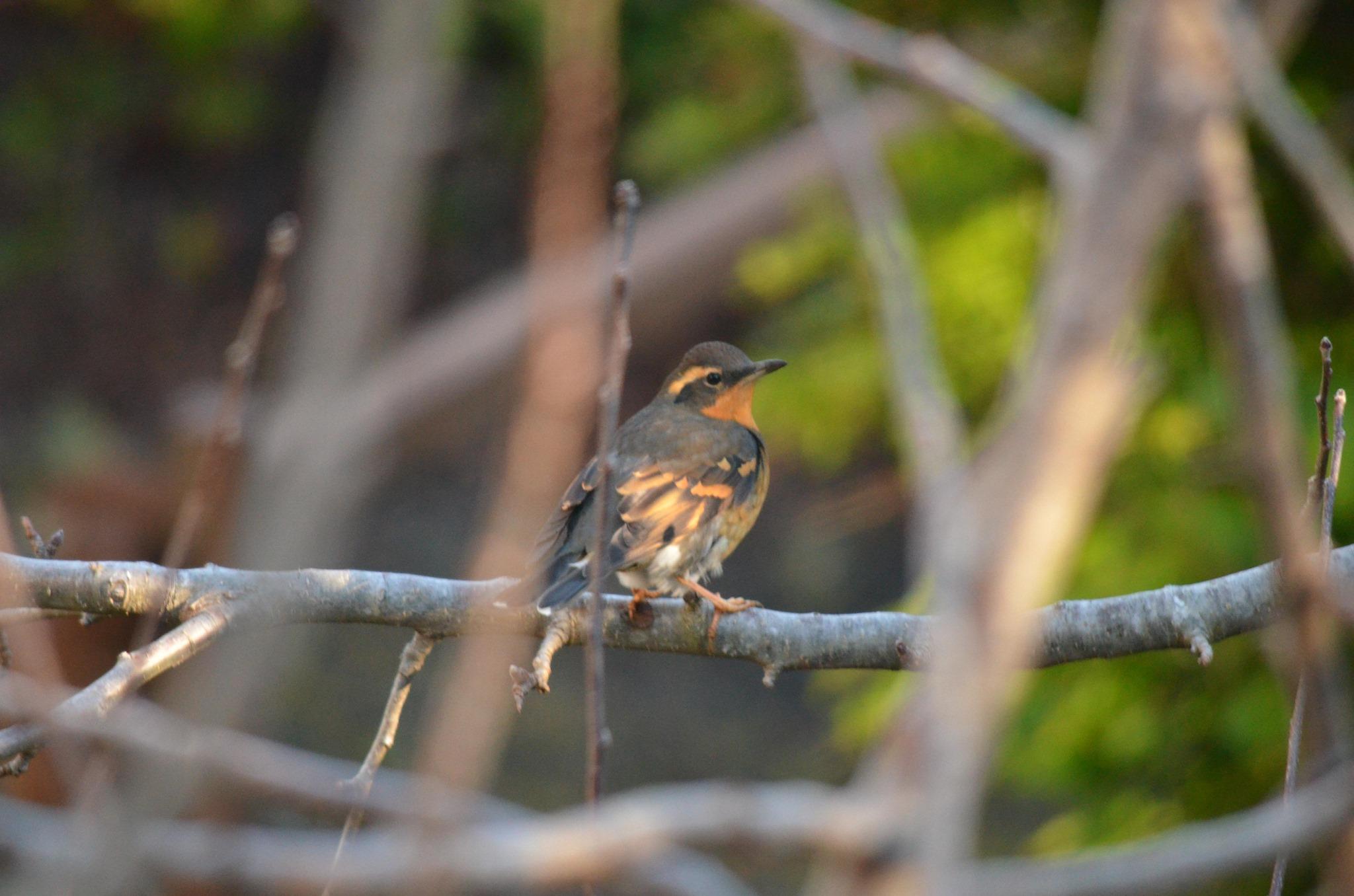 ss birding millacoma OTIS.jpg